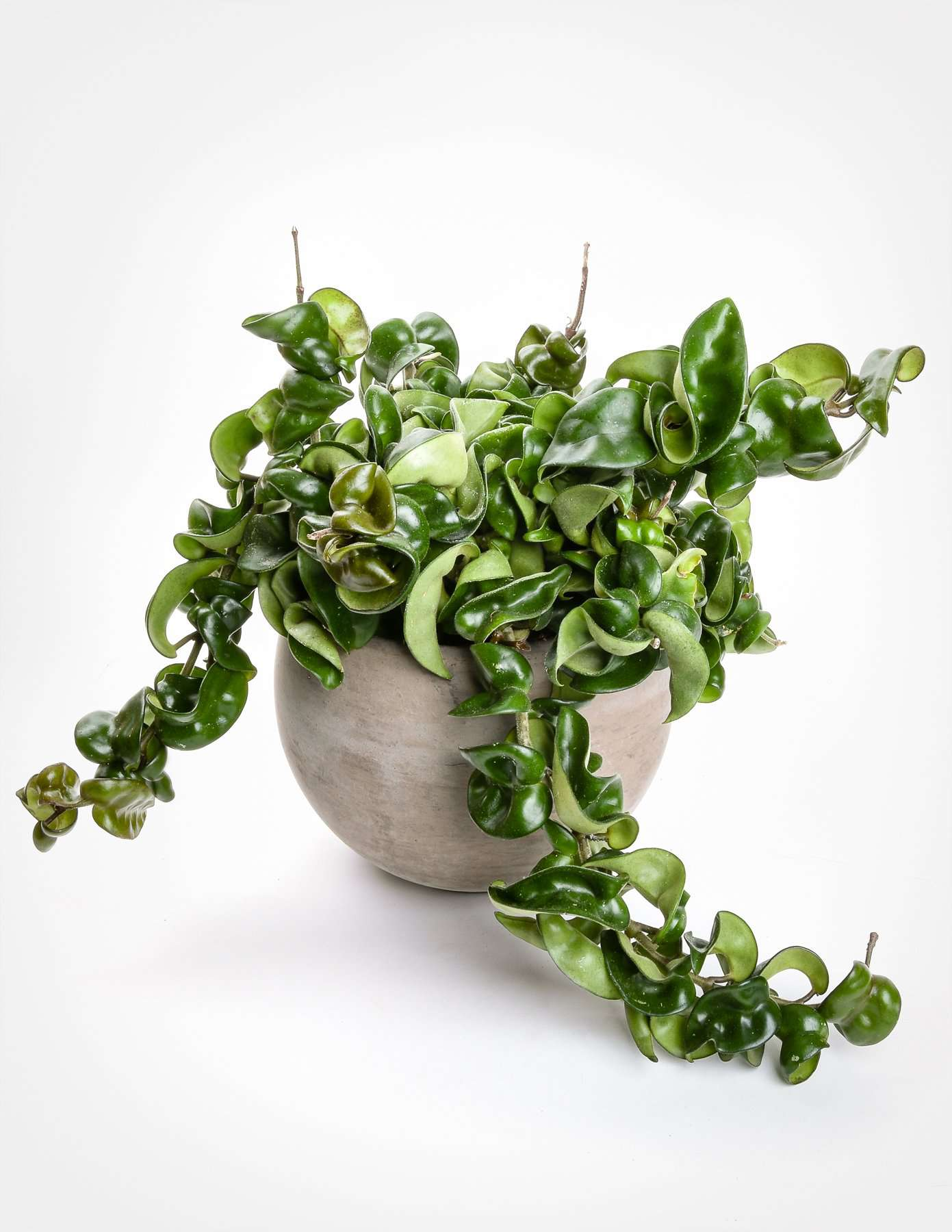 Trailing rope hoya in a pot