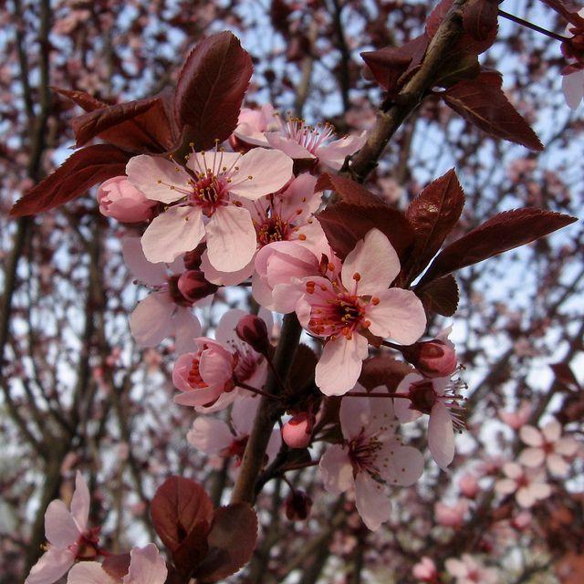 Cerezas agrias que crecen en un árbol