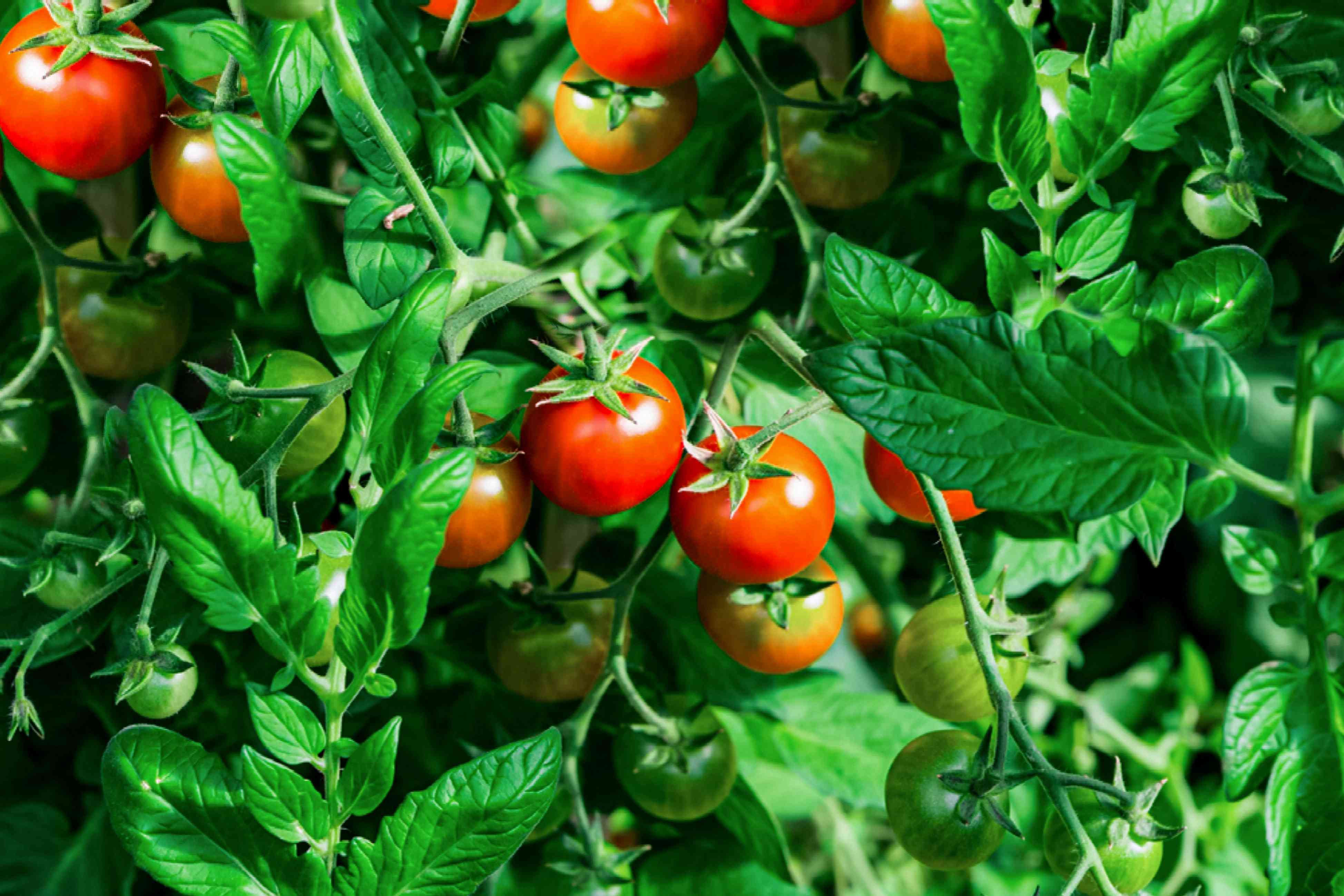 Matina tomato plants with bright red tomatoes hanging in vines and leaves