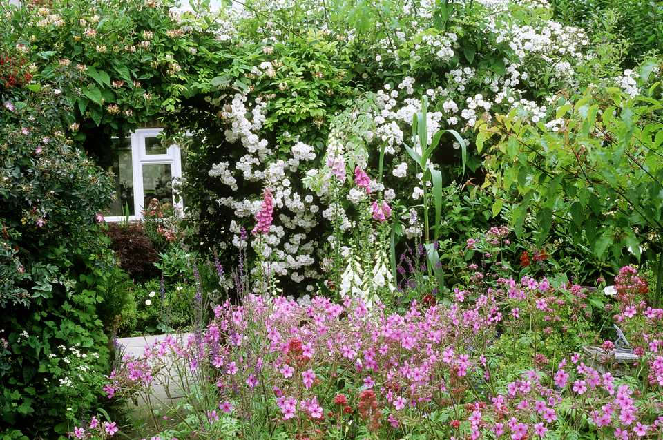 small cottage garden, with rosa (roses), house in background, june.