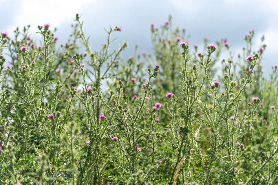 Bull thistle weed plant with prickly thin stems and tiny pink flowers on top
