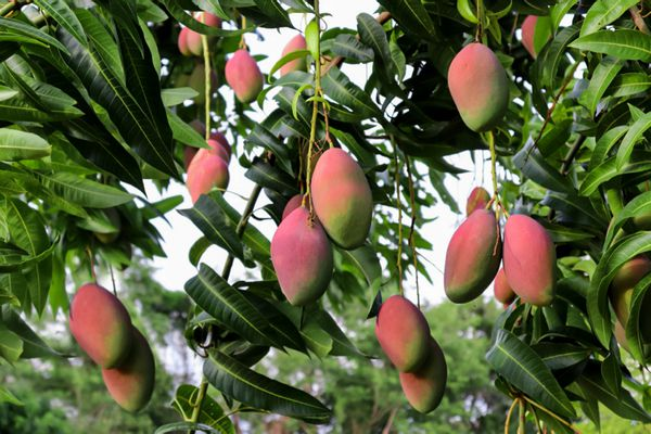 Mango tree with red mango hanging from branches