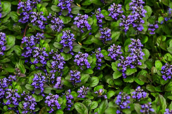 Bugleweed ground cover plant with purple flower clusters surrounded by leaves