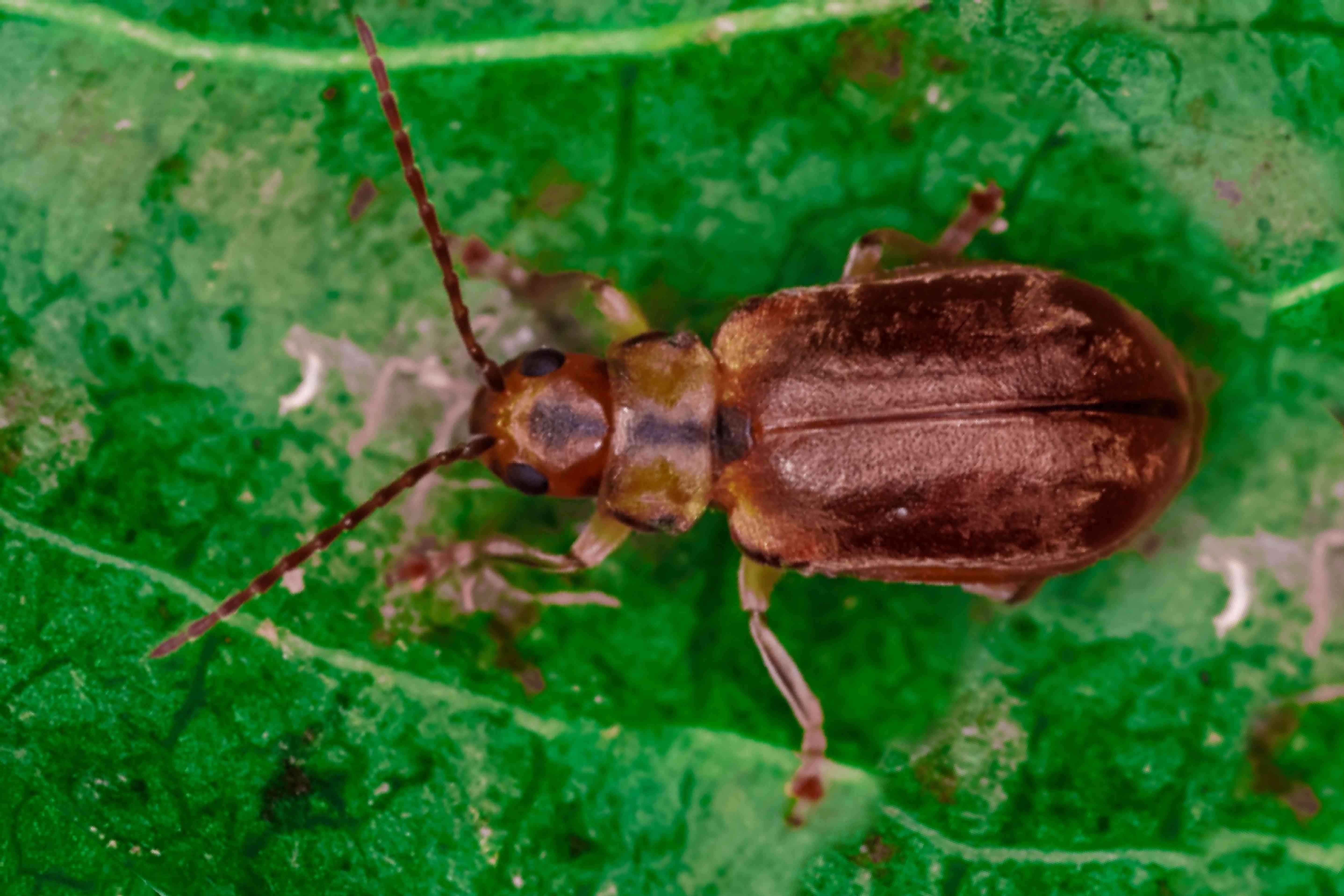 pest on a viburnum shrub leaf