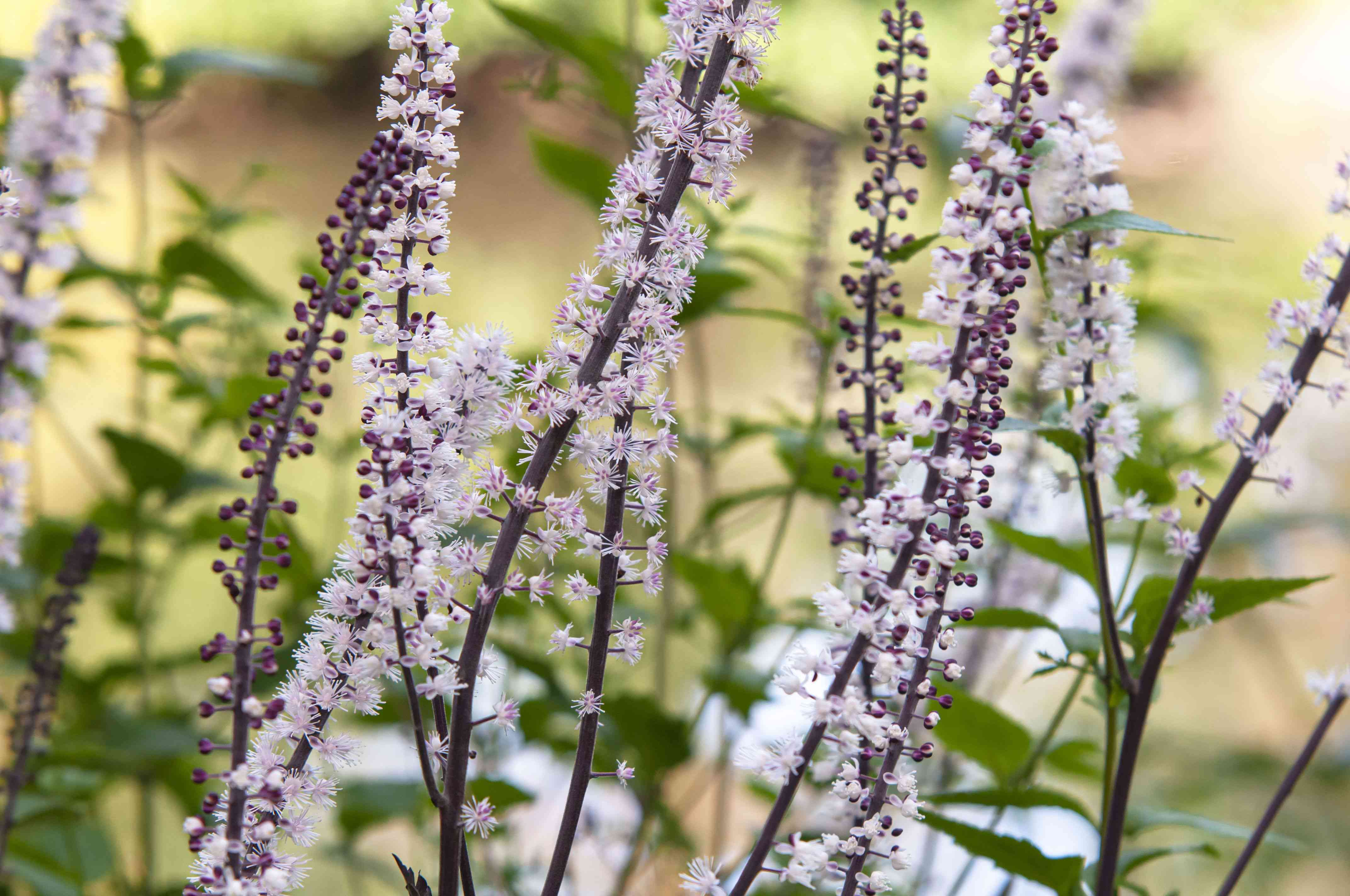 Black cohosh plant with bottle brush-shaped clusters of white flower clusters and red flower buds on stalks closeup