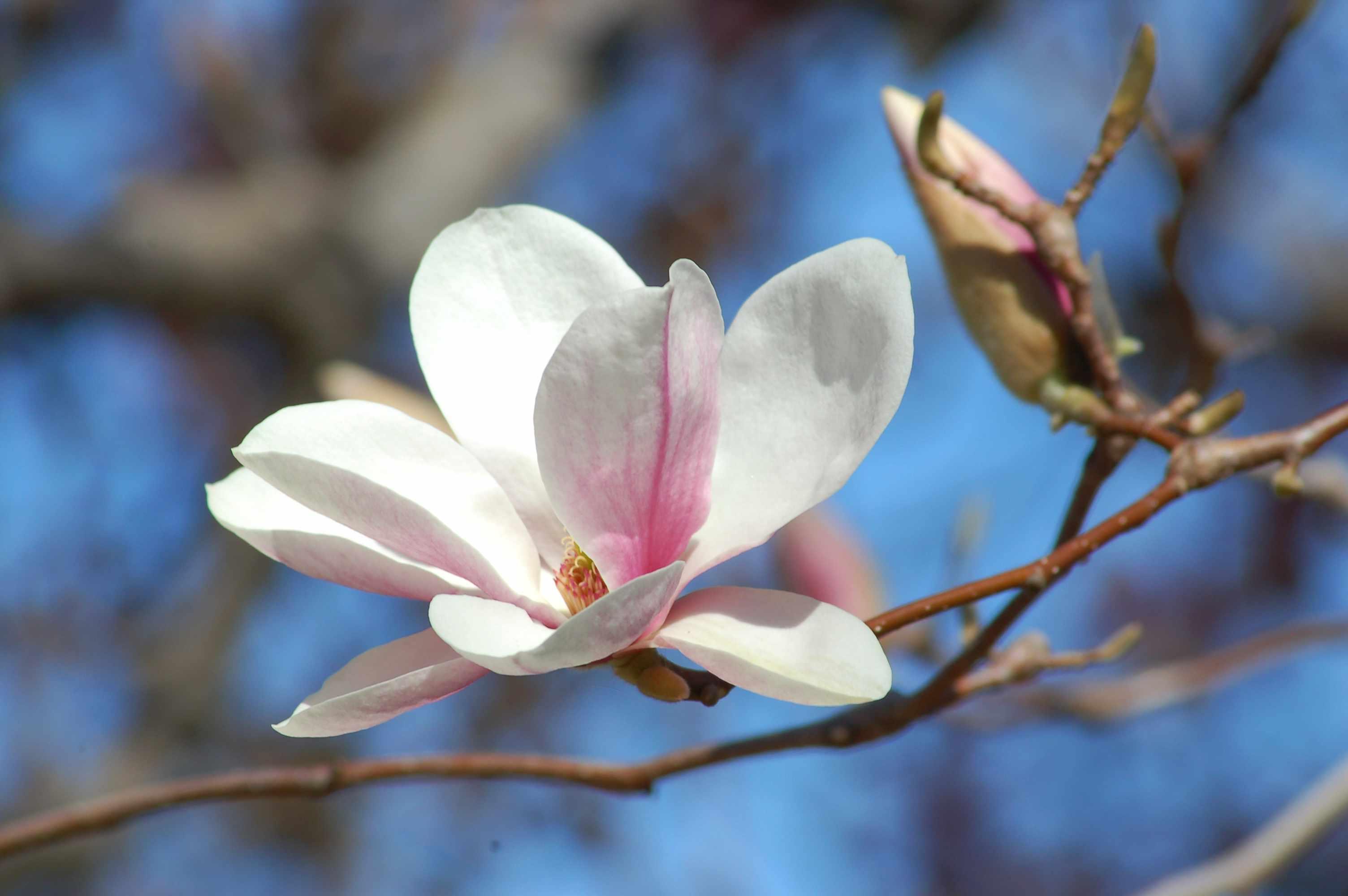 Alexandrina platillo magnolia en flor
