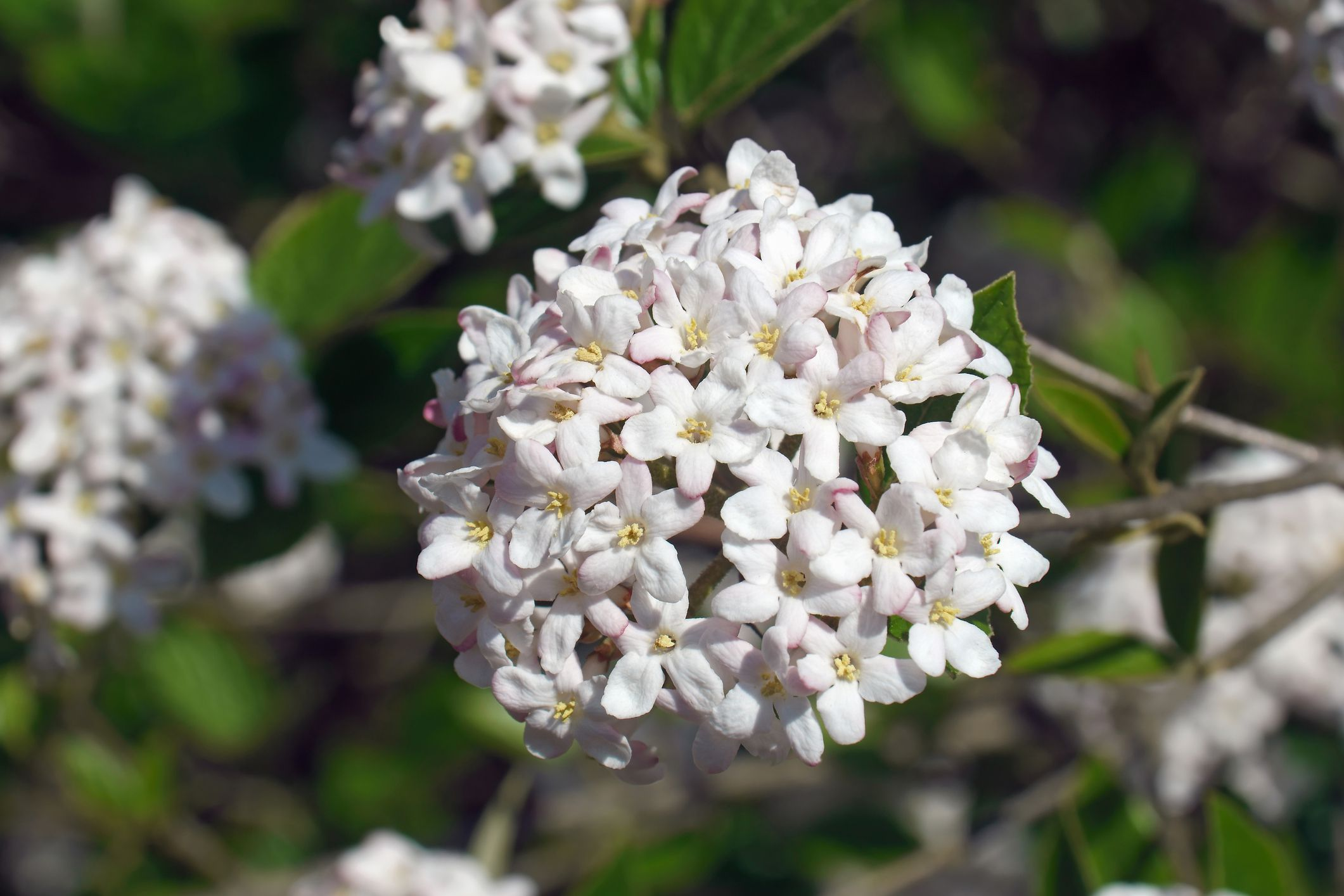 FRAGRANT STARTER PLANT VIBURNUM X BURKWOODII