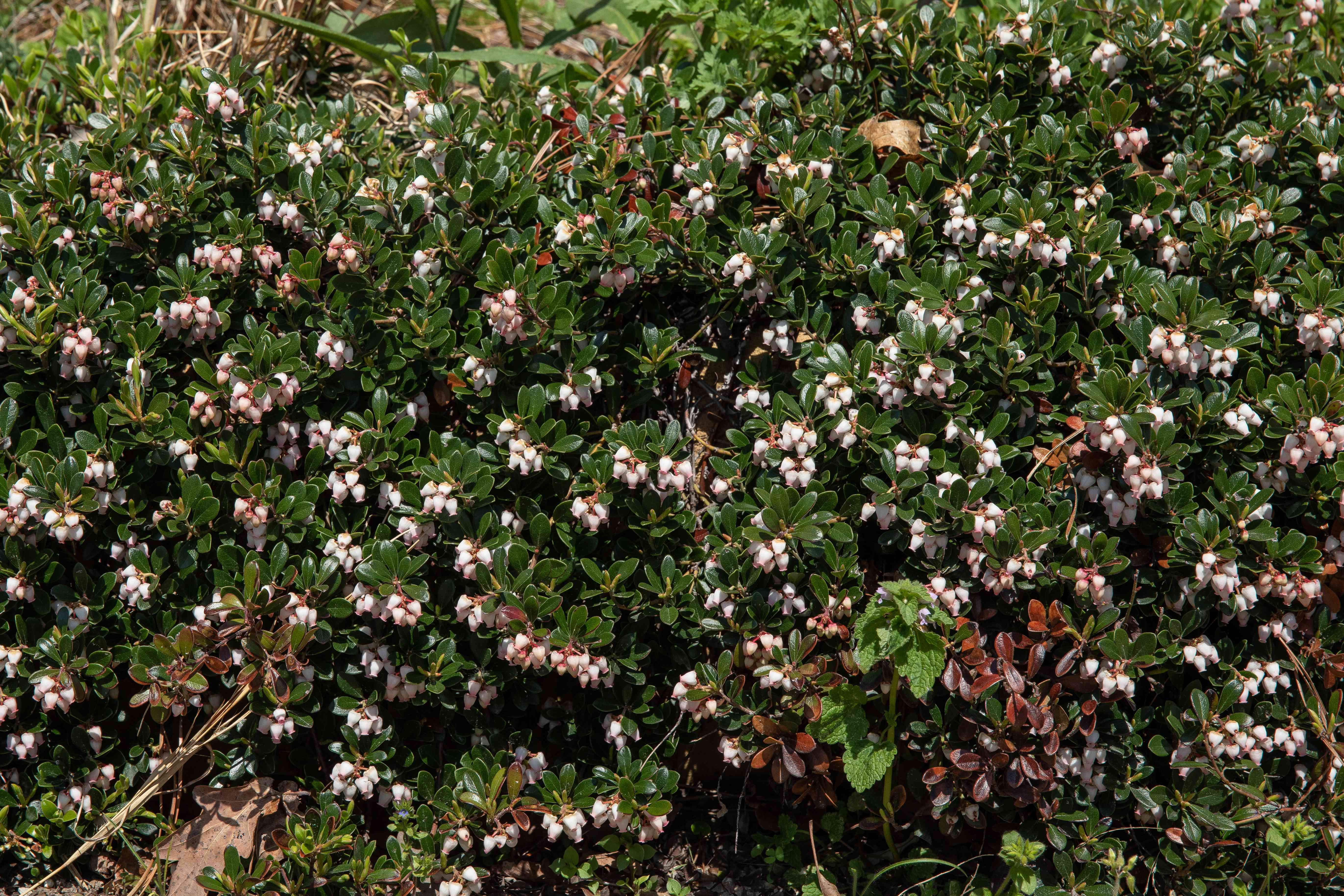 Bearberry sub-shrub with small white flowers in sunlight