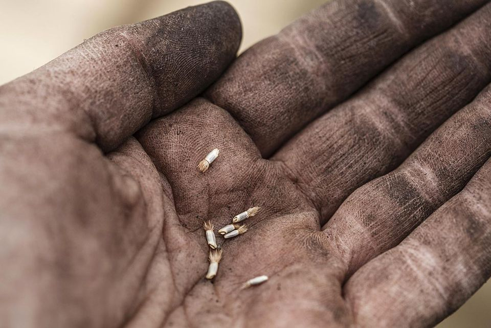 Close-up of someone's palm with freshly harvested flower seeds