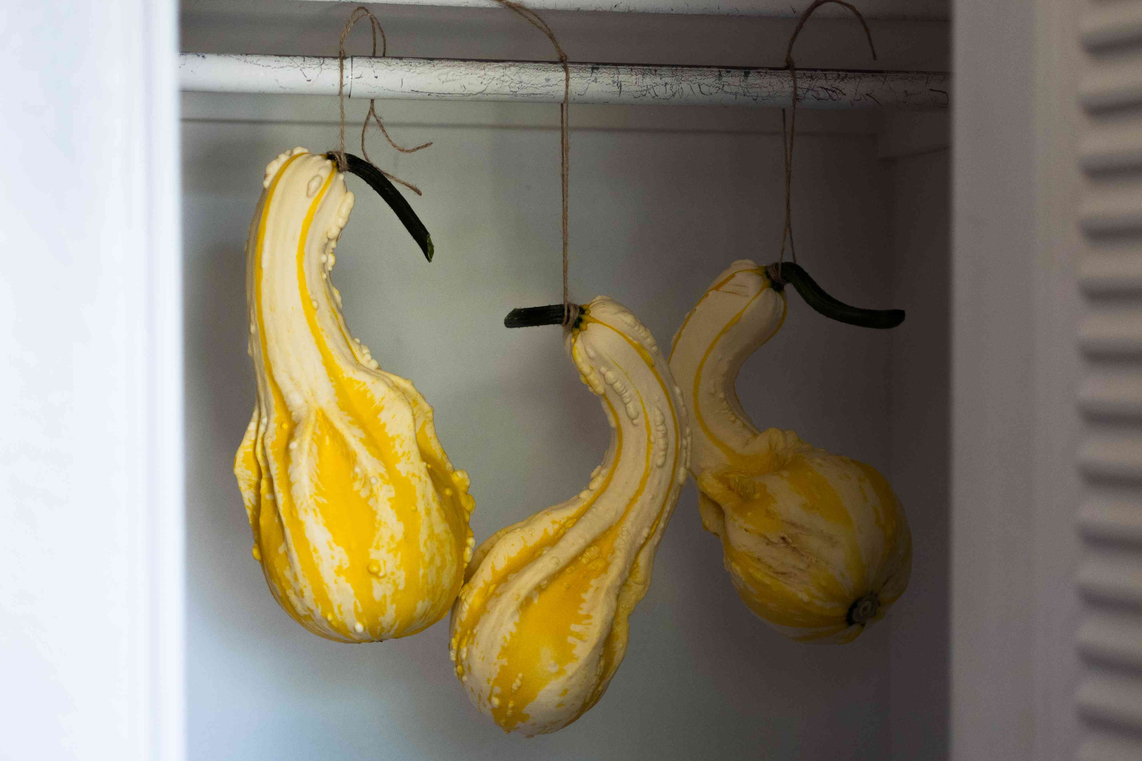 Yellow and white gourds hung by twin in closet to cure in darkness