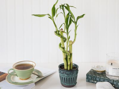 a lucky bamboo plant on a table