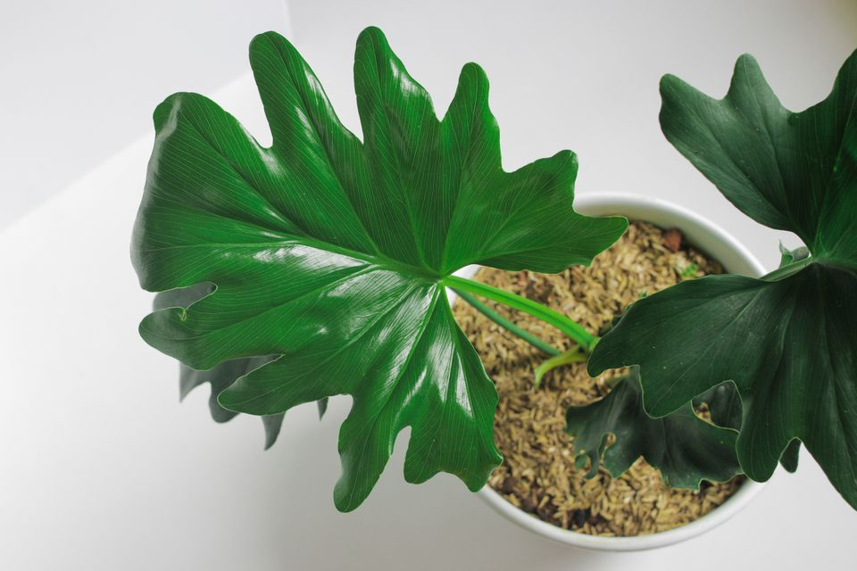 Overhead shot of a young tree philodendron (Philodendron bippinatifidum) in a white pot against a white background.