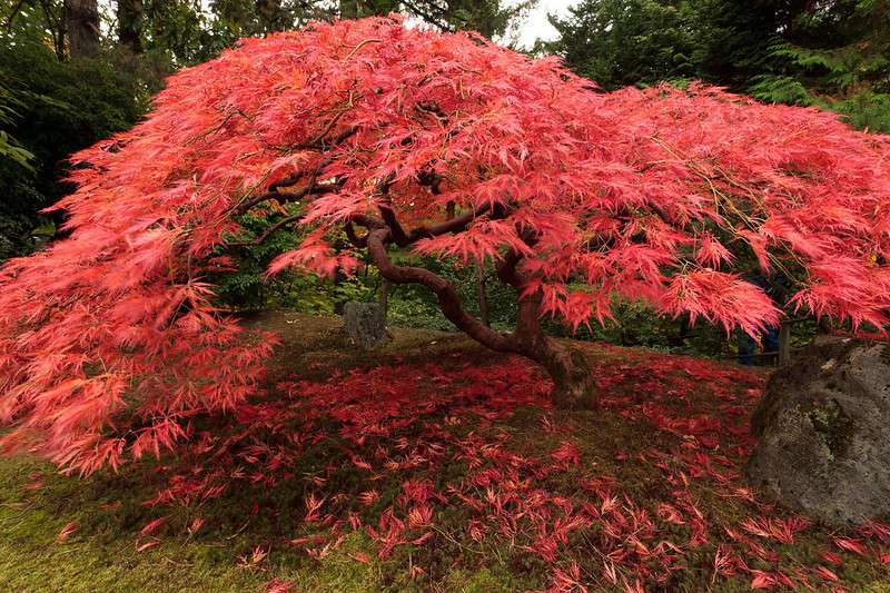 Bright red leaves on Japanese maple tree with twisted limbs in a garden