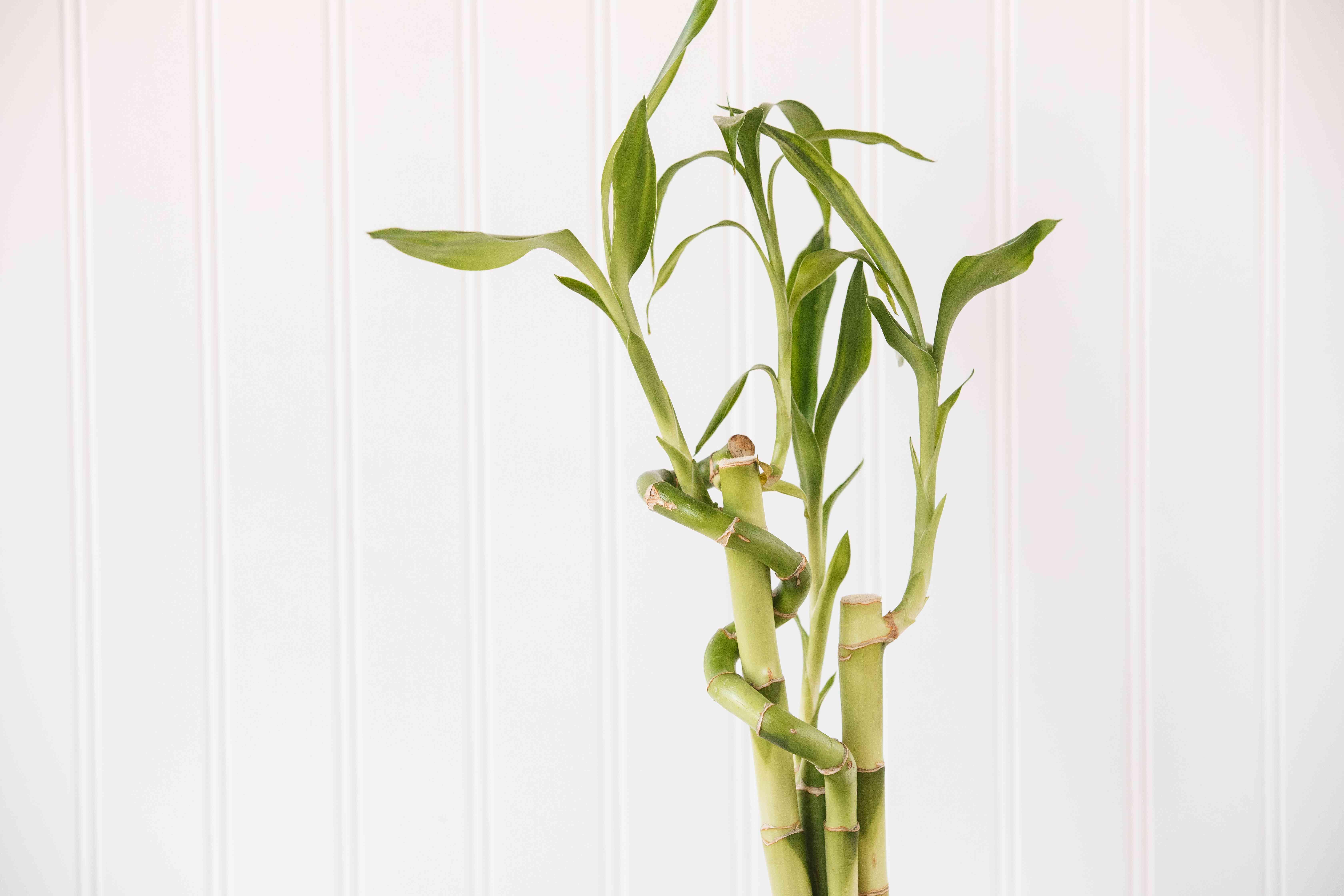 closeup of a lucky bamboo