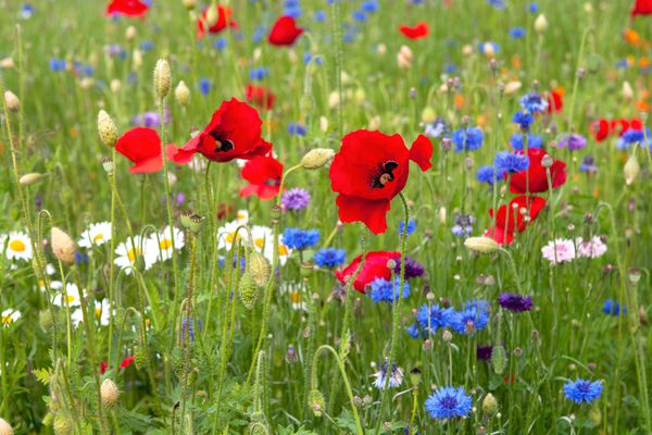 Red poppy flowers in middle of field with different wildflowers