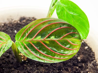 A Guide To Growing Maranta Inside