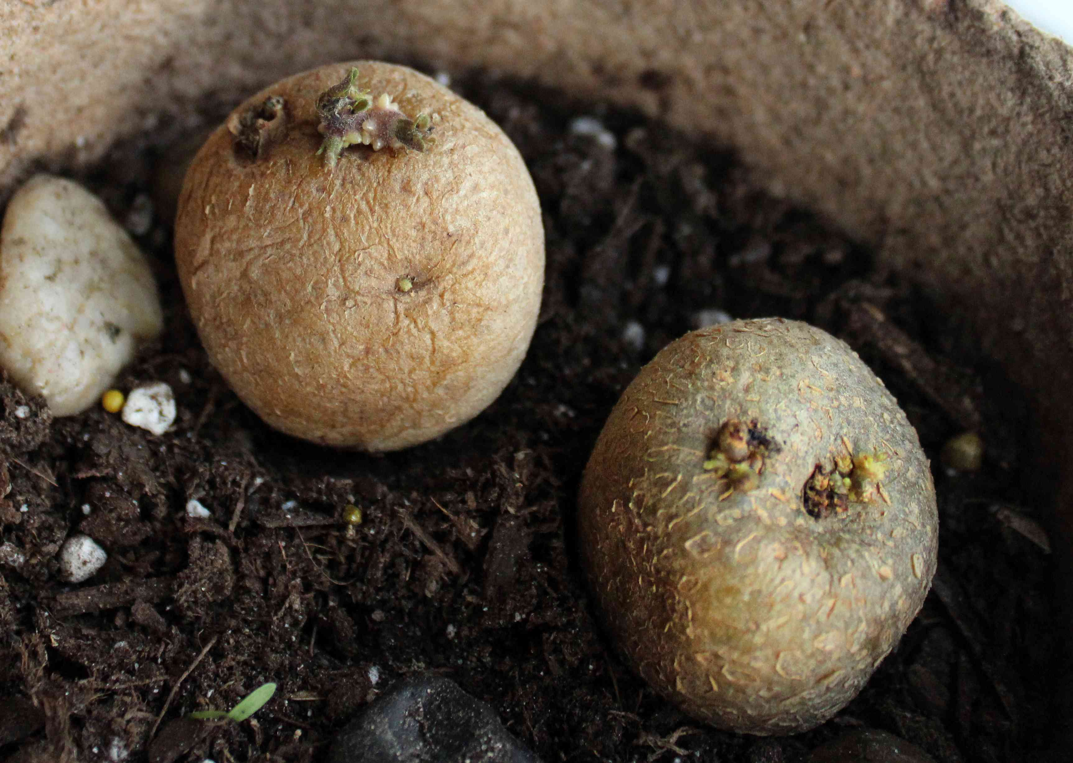 seed potatoes being planted