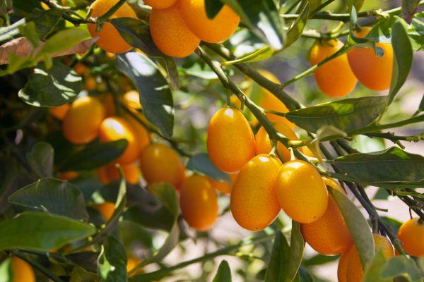 Kumquat tree branches with orange olive-sized fruit hanging