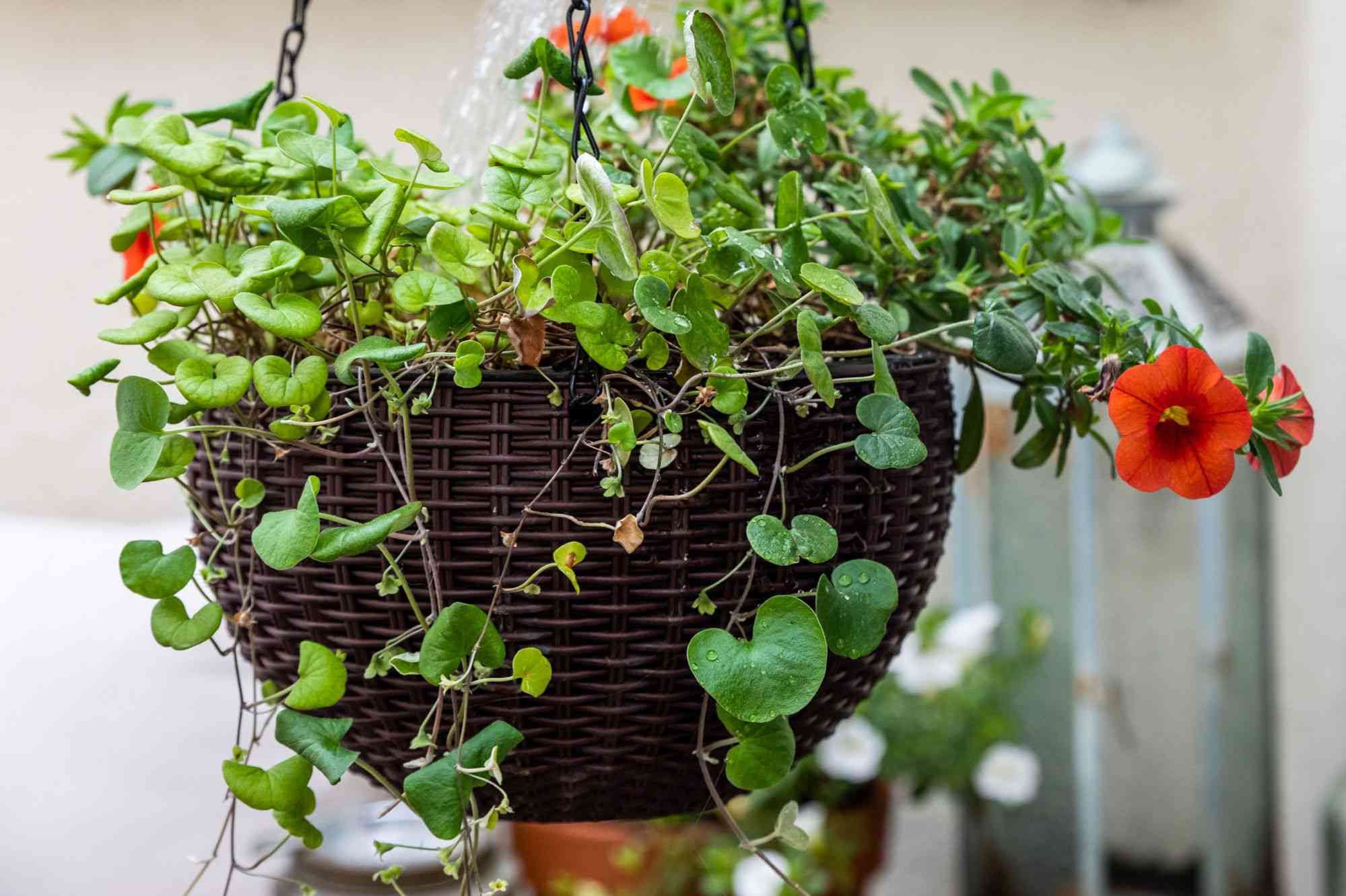 Dichondra plant in brown hanging basket with red flower stems and leaves hanging over