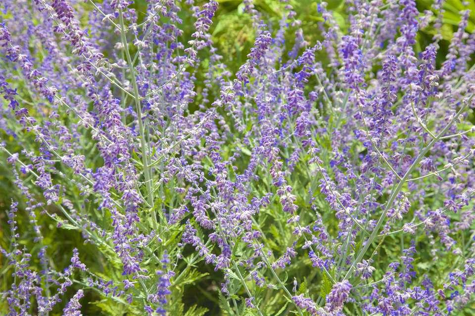 Russian Sage, Perovskia Atriplicifolia, Amiaceae, in bloom in August