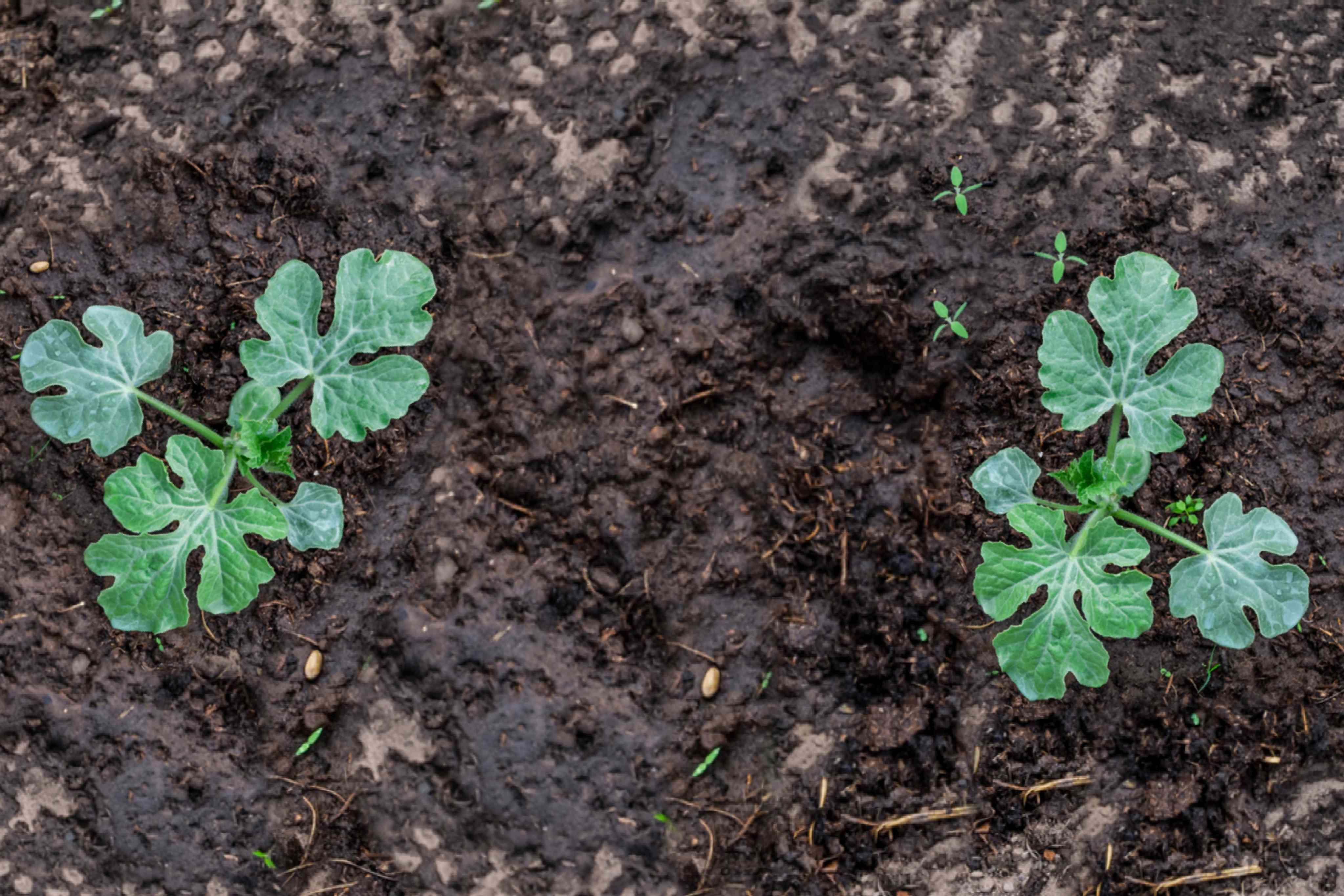 Watermelon plant sprouts growing from ground
