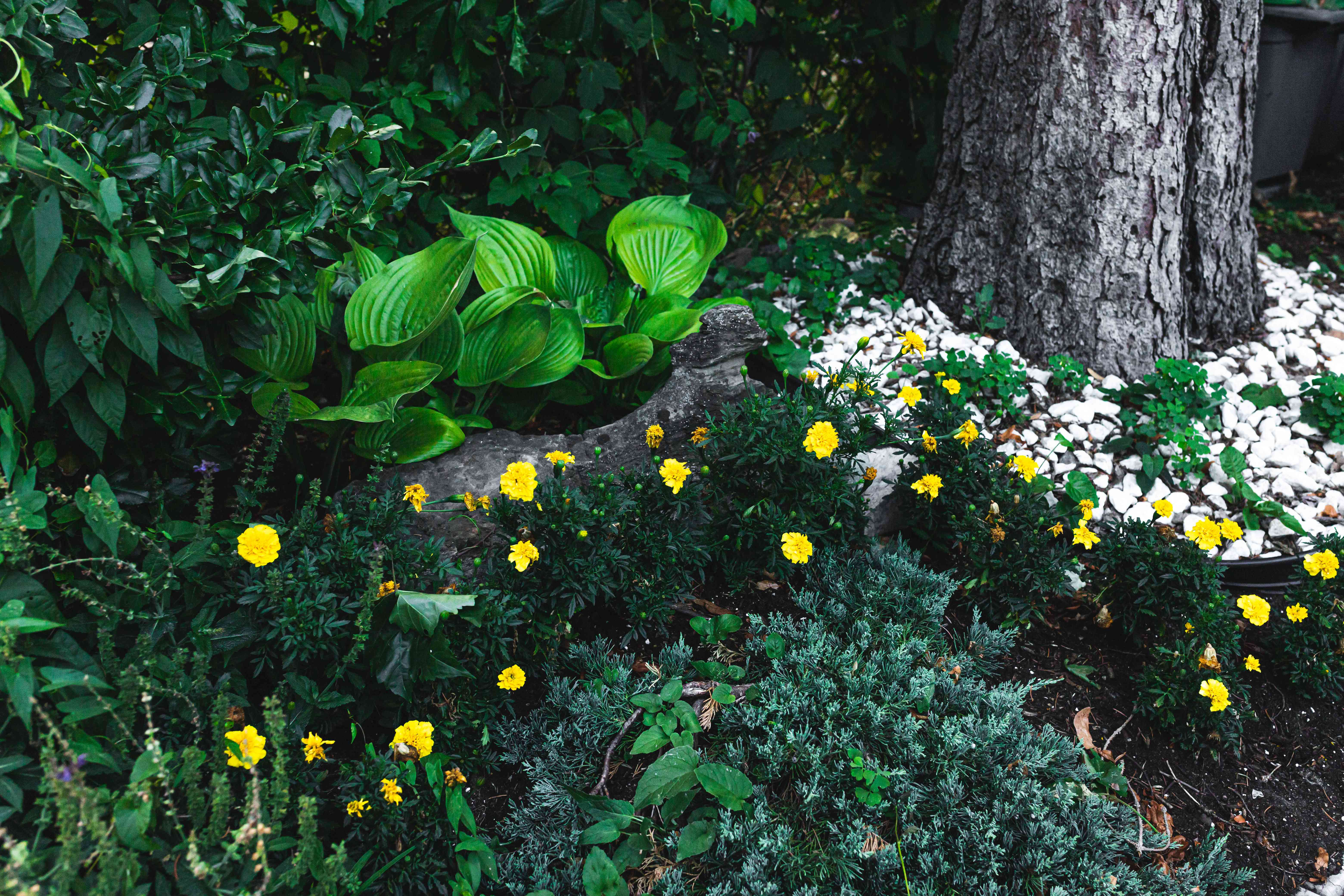 marigolds used in landscaping
