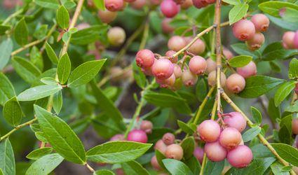 Pink lemonade blueberries in a garden