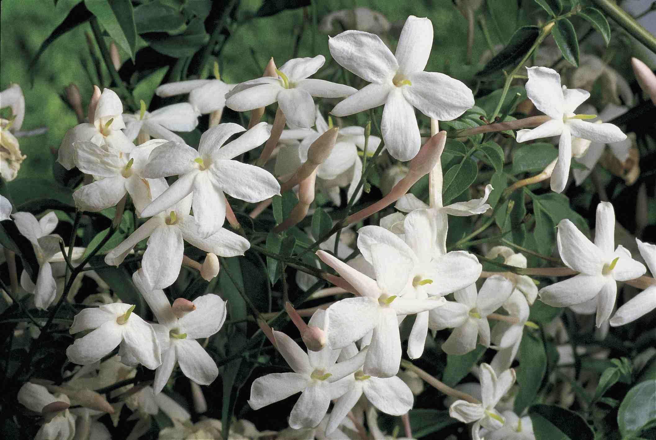 Jasmine (Jasmine officinale) flowers