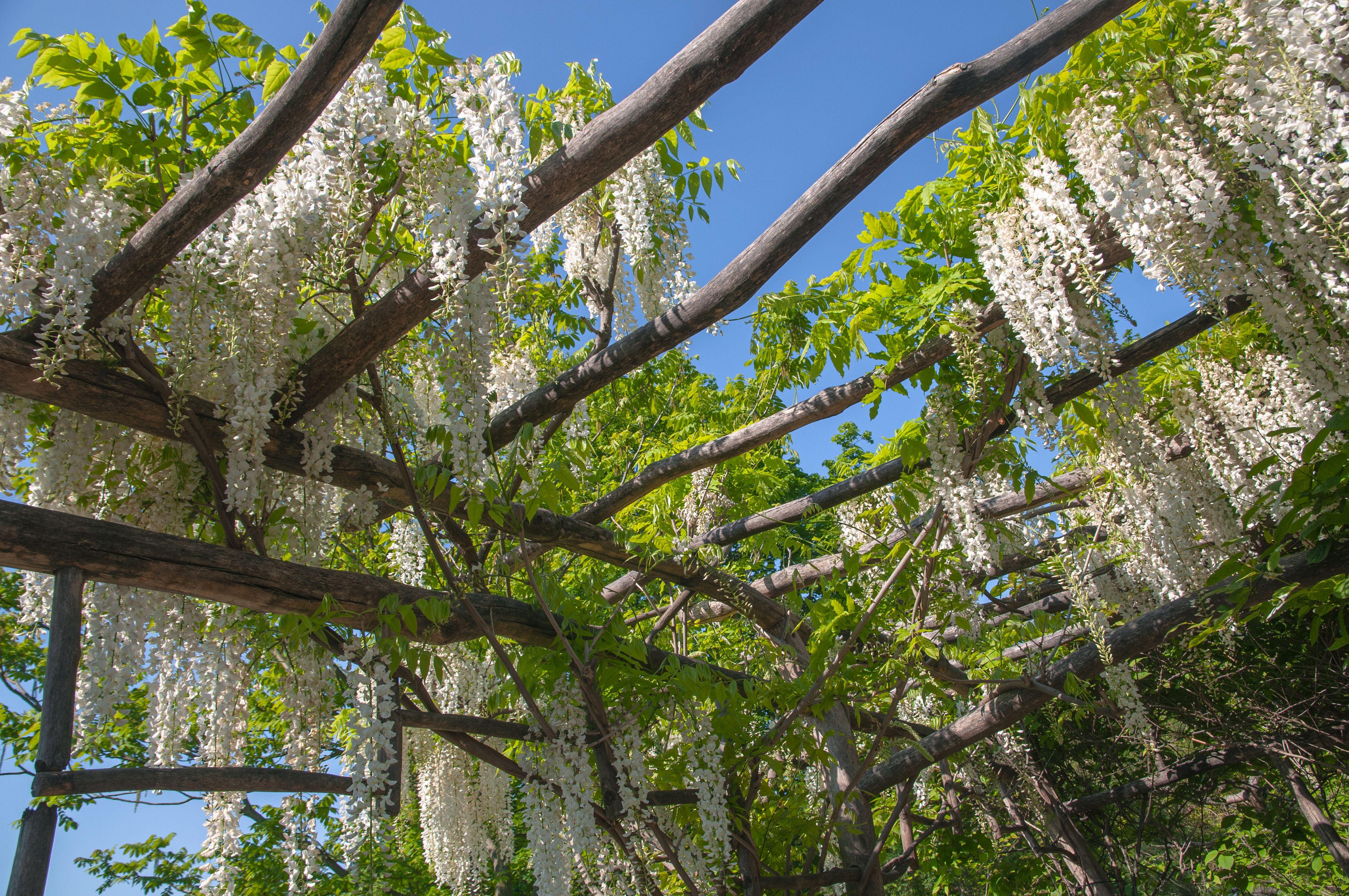 Best Vines for Pergolas and Arbors