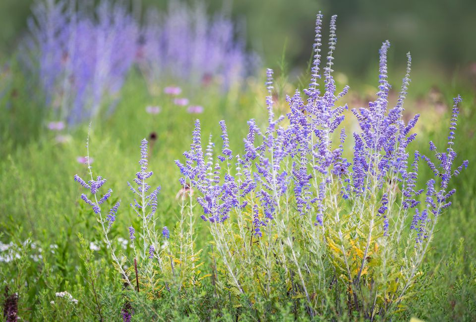Russian sage shrub with thin silvery-green leaves and purple flower stalks