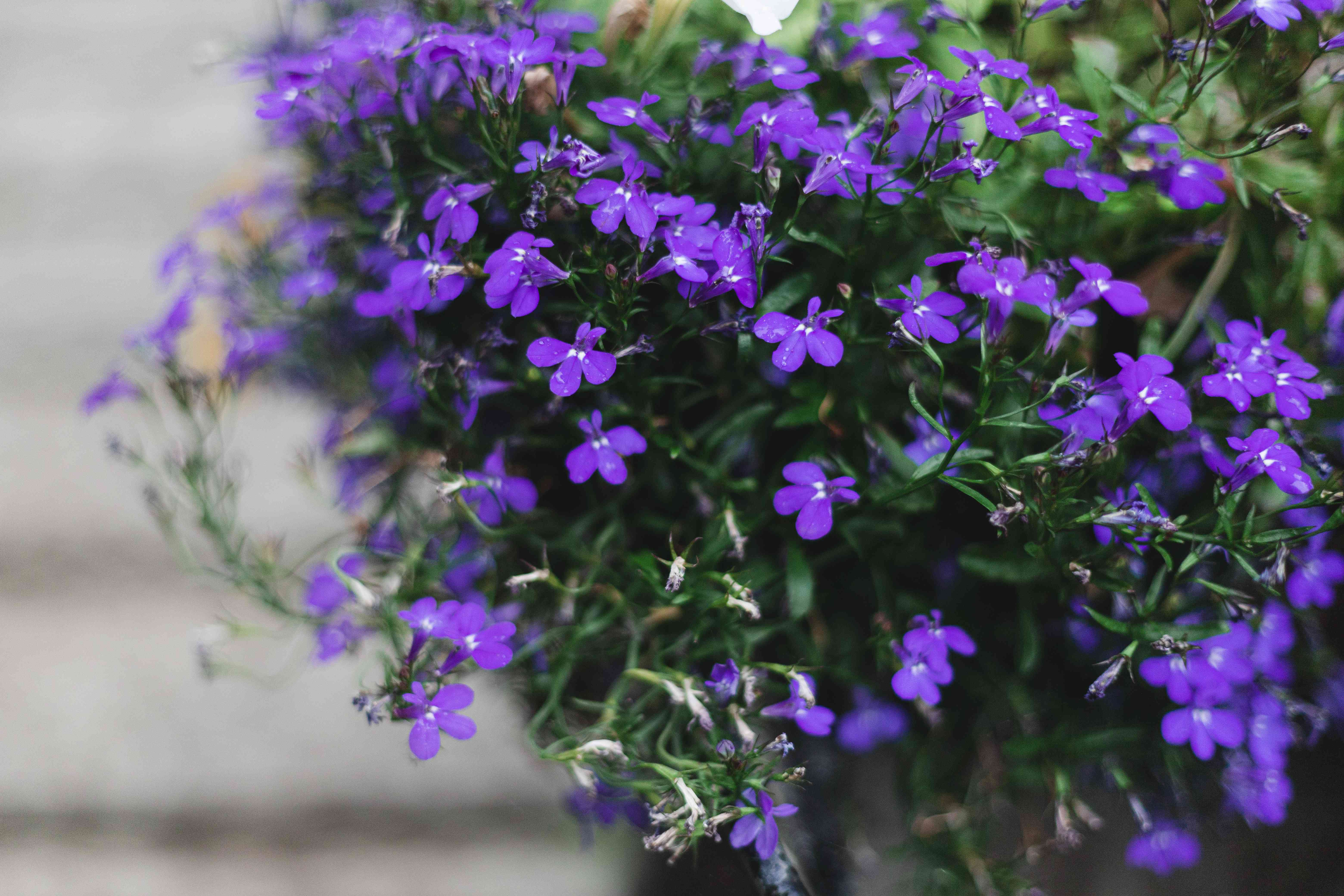 campanula from the side