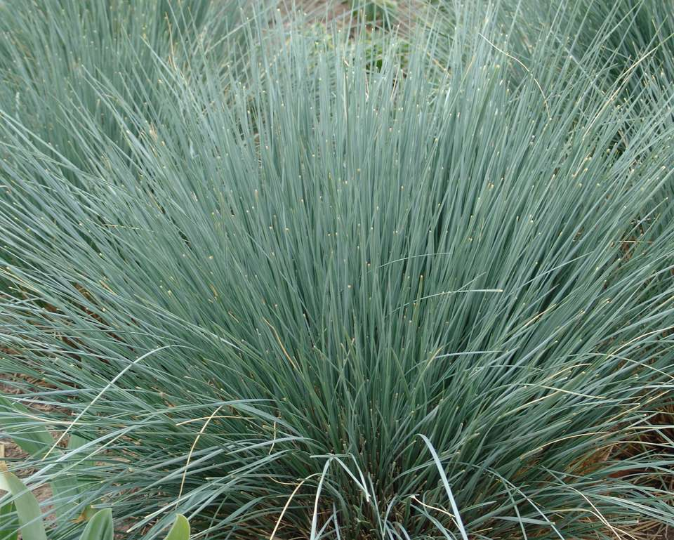 Blue oat grass (Helictotrichon sempervirens) up close