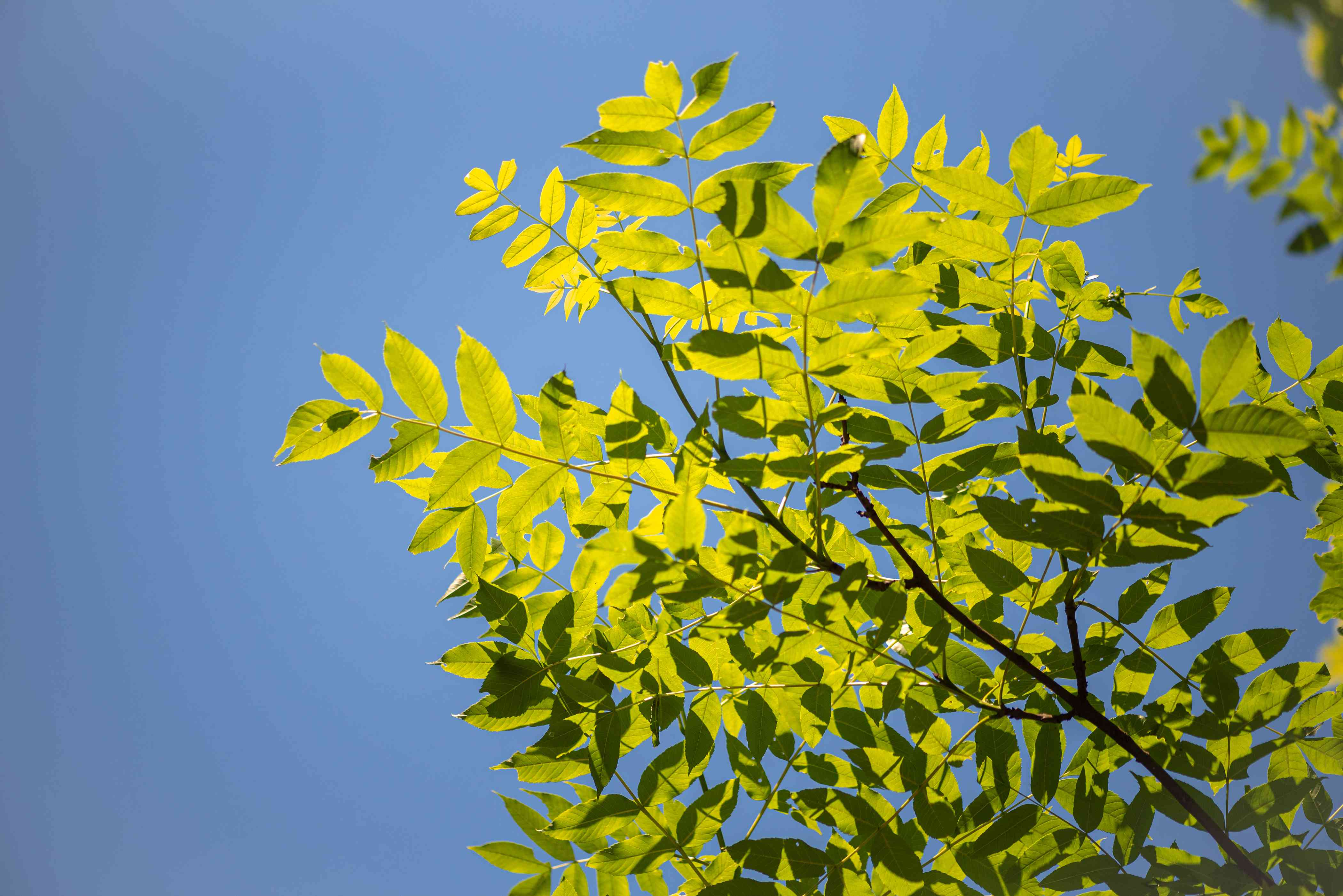 European ash tree branches with yellow-green leaves against blue sky