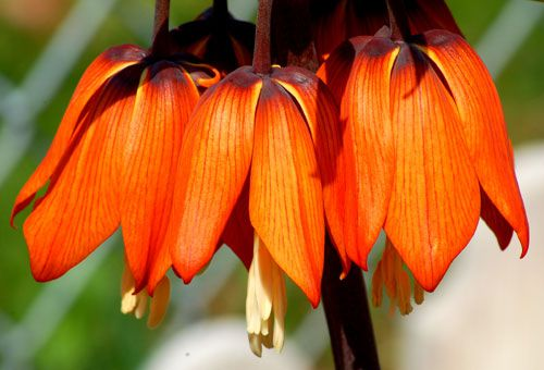 As photo shows, Fritillaria is a sensational lily. Crown Imperial Fritillaria has orange blooms.