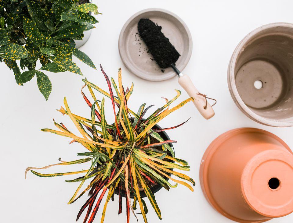 photos of croton plants and pots