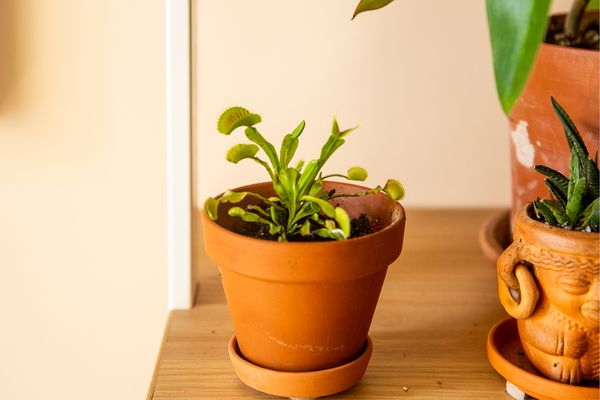 Venus flytrap plant in orange terracotta pot with small green traps on wooden shelf