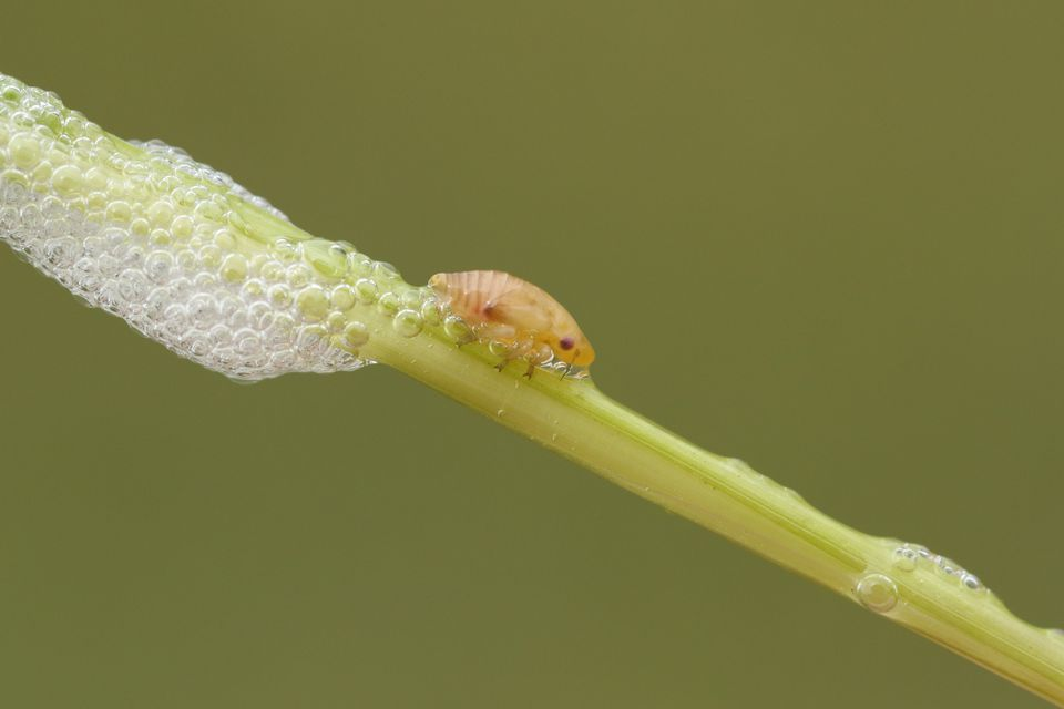 A cute Common Froghopper (Philaenus spumarius) also called spittlebug or cuckoo spit insect on the stem of a plant with its spittle, which acts as protection for this bug