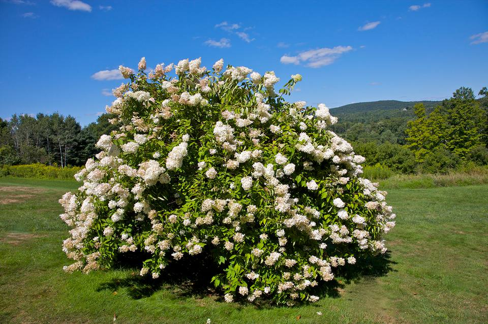 Huge mound of white-flowering shrub in field.