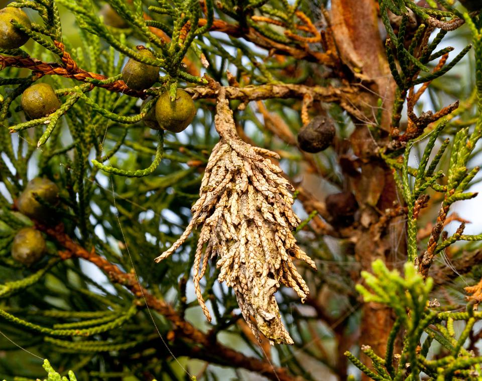 Bagworm on a pine tree