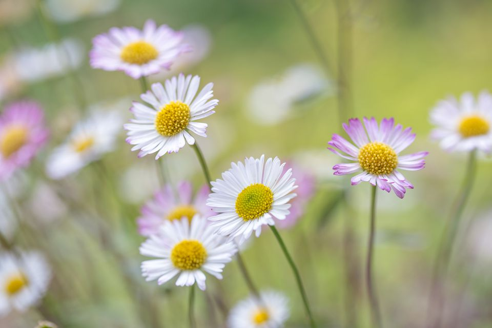 English daisy (Bellis perennis) plants
