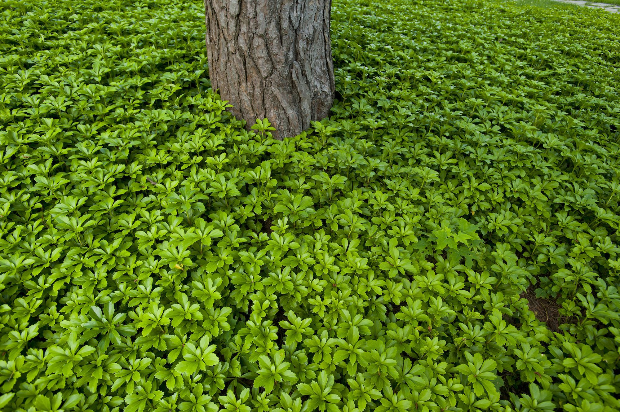 Pachysandra plant carpet and tree trunk