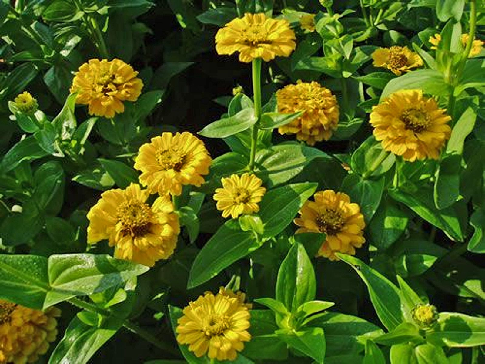 Tips for growing and caring for zinnia plants mightylinksfo
