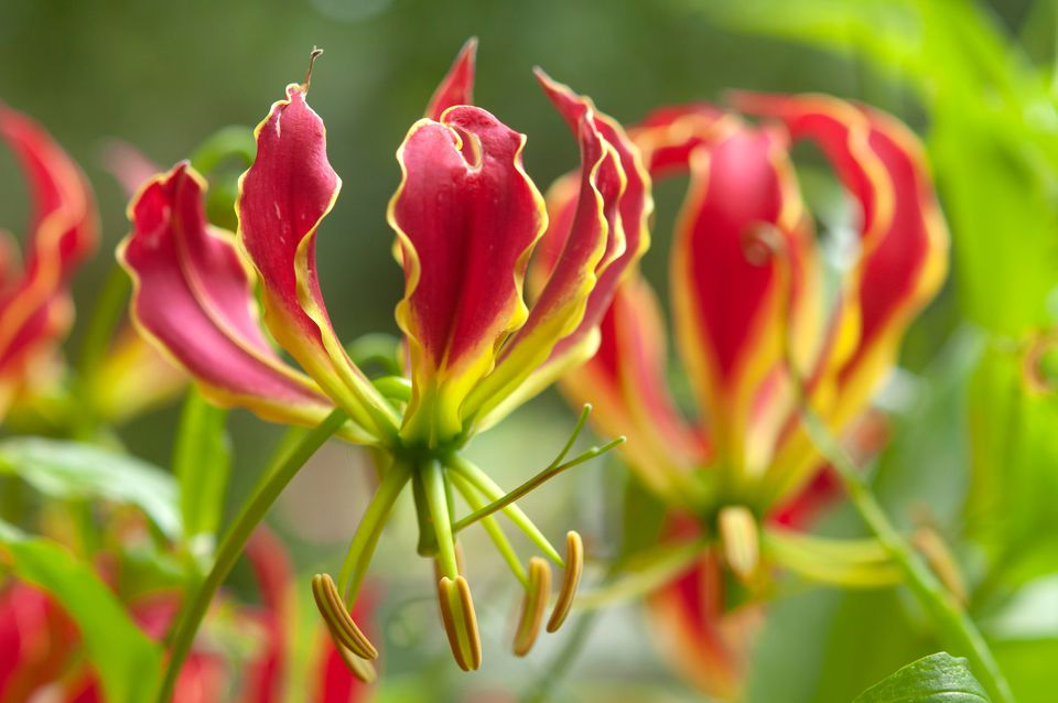 Gloriosa Lily with red and yellow petals off stem