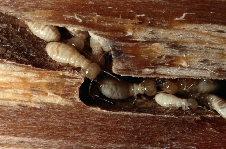 Using Orange Oil To Treat Dry Wood Termites