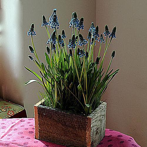 imagen de jardinería en macetas del jardín de macetas de primavera, jacinto de uva