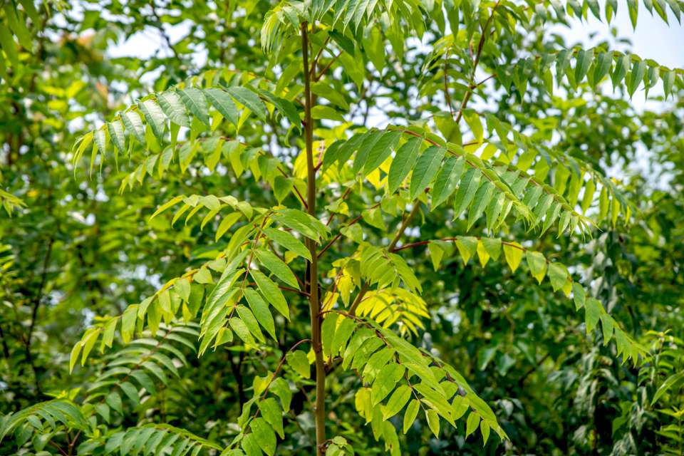 Tree of heaven with thin branches containing small bright green leaflets