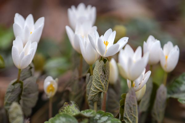Bloodroot plant with small white flowers and veiny leaves closeup