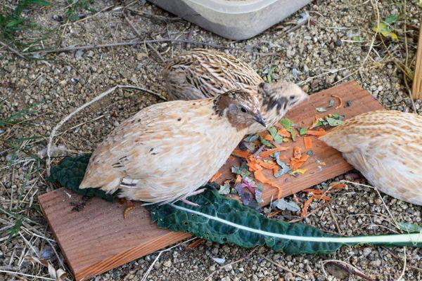 quail birds feeding on vegetables