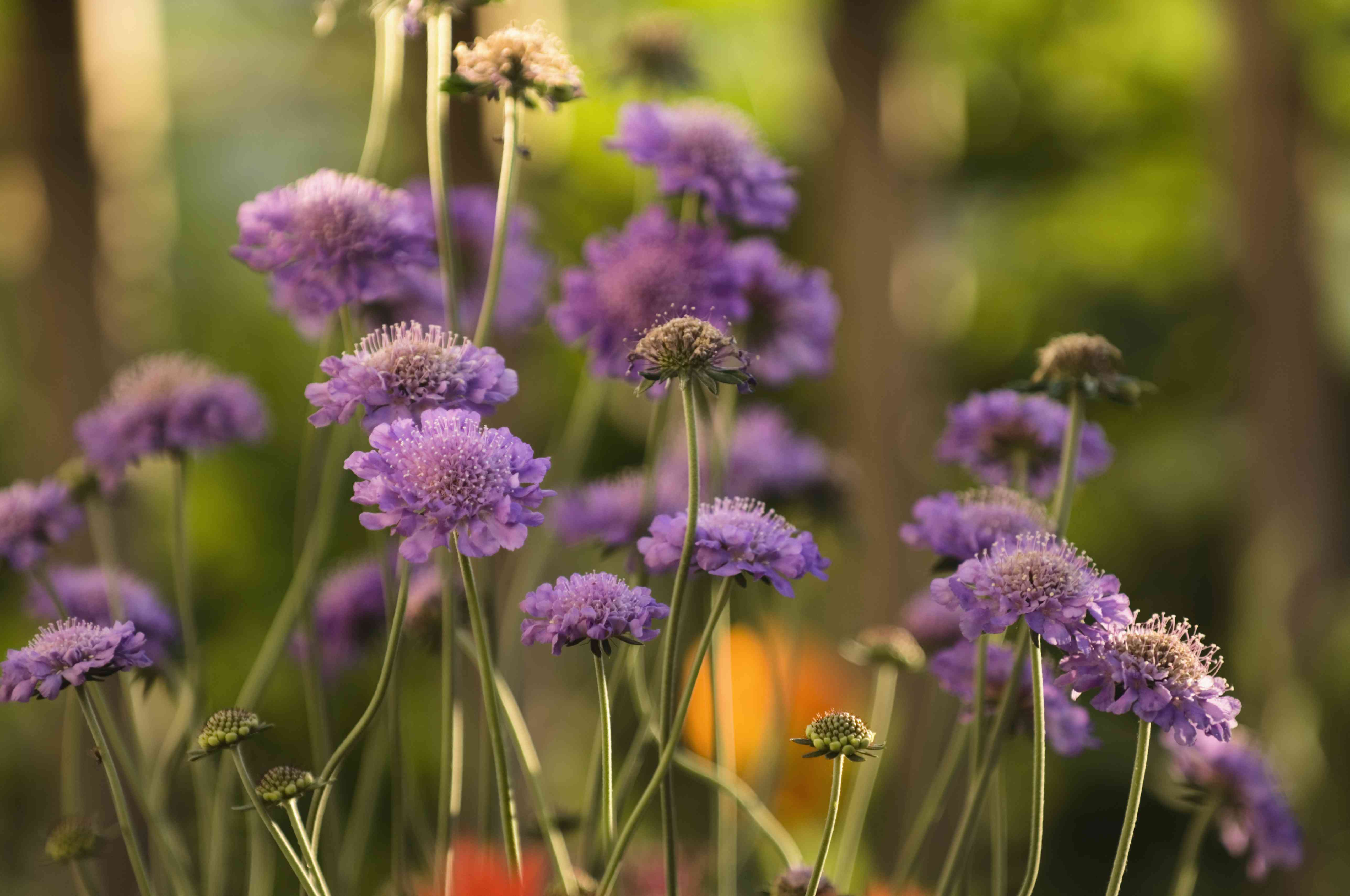 A Group of Lavender Scabiosa Flowers