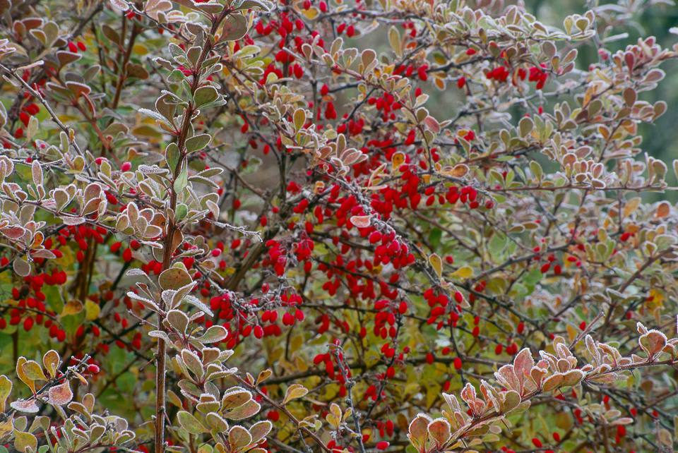 Japanese barberry with red berries covered in frost.